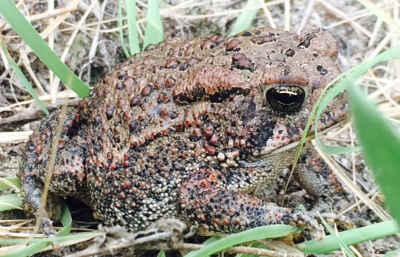 houston-toad-survey