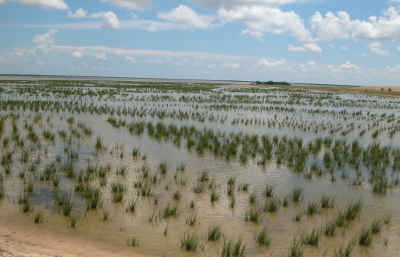 marsh-planting-texas-alterniflora