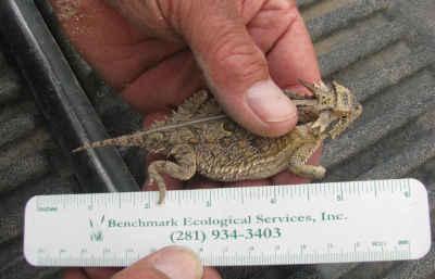 texas-horned-lizard-survey