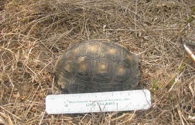 texas-tortoise-survey